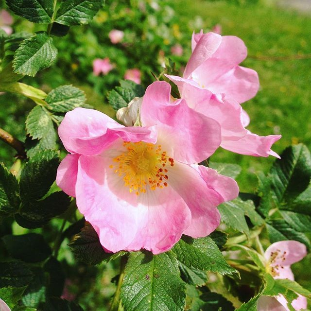 Wild roses in our garden. Beautiful creations. My favorites. Their petals are heart-shaped so they leave heart confetti on the grass. #wildrose #flowermagic #heartshapedpetals